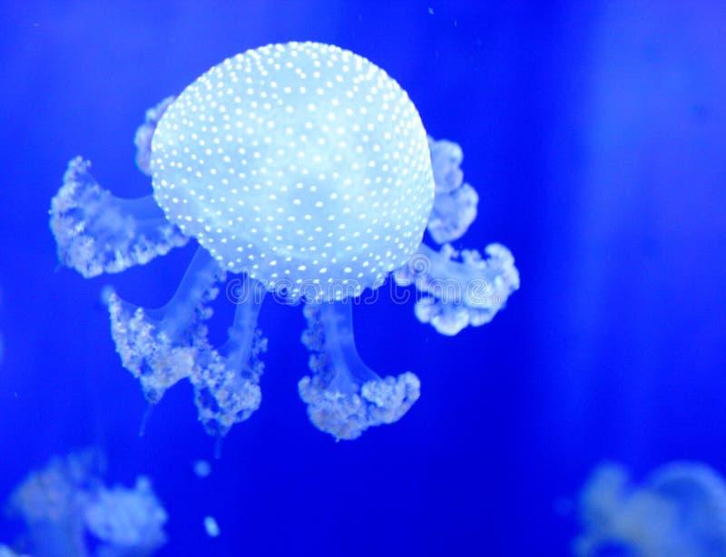 Jellyfish royalty free stock photo