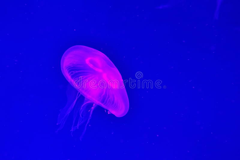 Download Jellyfish Royalty Free Stock Images - Image: 18236849
