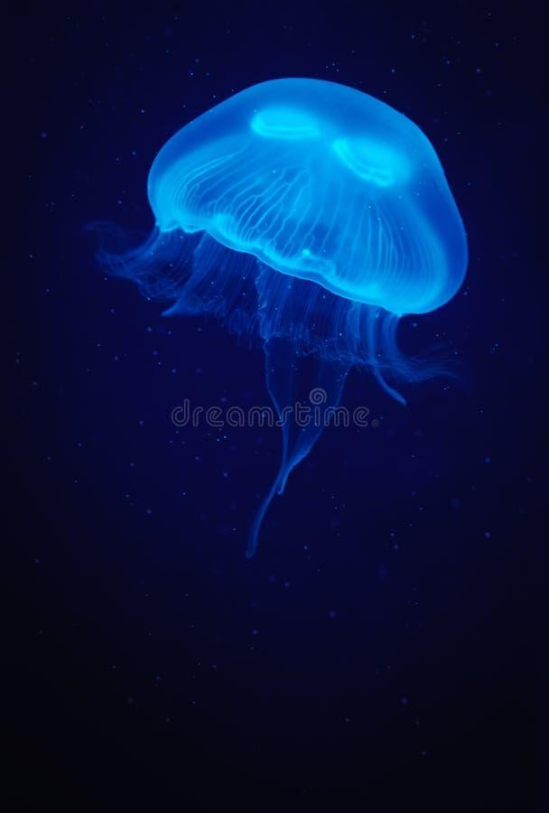 jellyfish zdjęcie stock