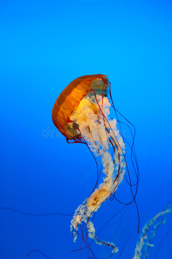 Jellyfish. One beautyfull jallyfish in blue water royalty free stock photography
