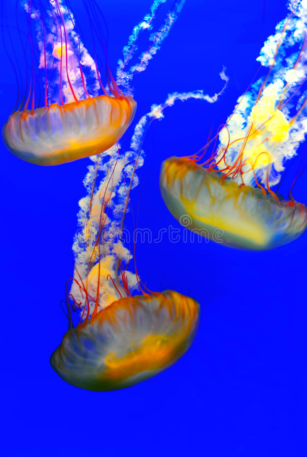 Download Jellyfish stock image. Image of underwater, aquatic, exotic - 21758027
