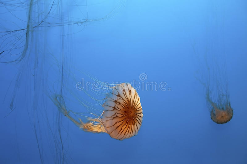 Download Jellyfish stock photo. Image of tentacle, fish, tentacles - 25836946