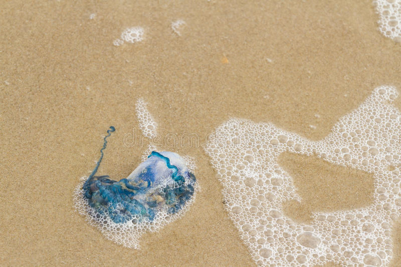 Jellyfish. Portuguese Man O War Jellyfish on the beach of South Padre Island, TX royalty free stock photography