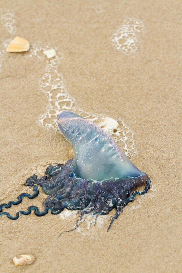 Jellyfish. Portuguese Man O War Jellyfish on the beach of South Padre Island, TX stock images