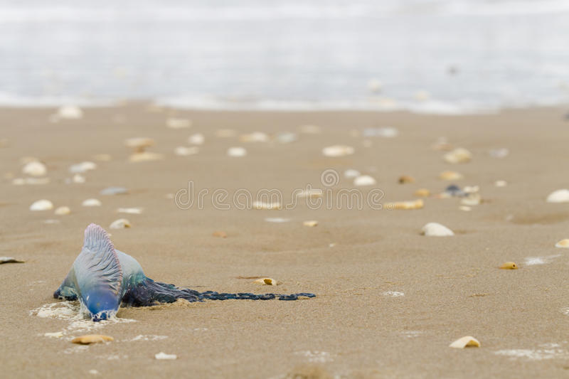 Jellyfish. Portuguese Man O War Jellyfish on the beach of South Padre Island, TX stock photos