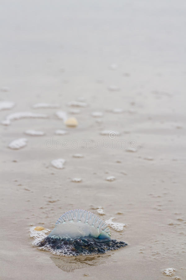 Jellyfish. Portuguese Man O War Jellyfish on the beach od South padre, TX stock photos