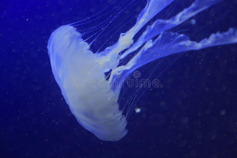 Download Jellyfish 3 stock photo. Image of fish, animal, singapore - 28425602