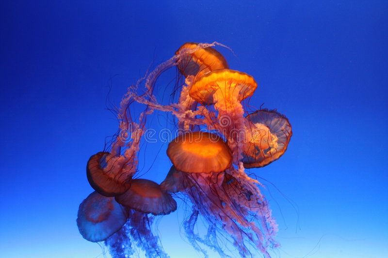 Download Jellyfish stock image. Image of water, swimming, translucent - 8114041