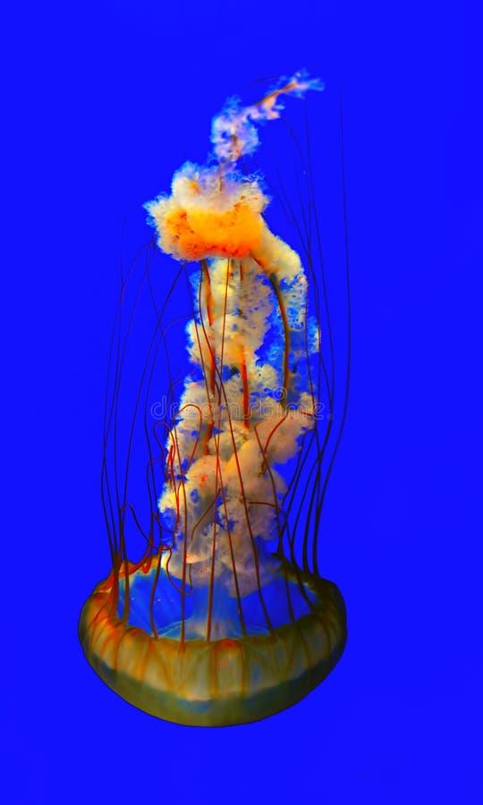 Jellyfish in aquarium royalty free stock photo