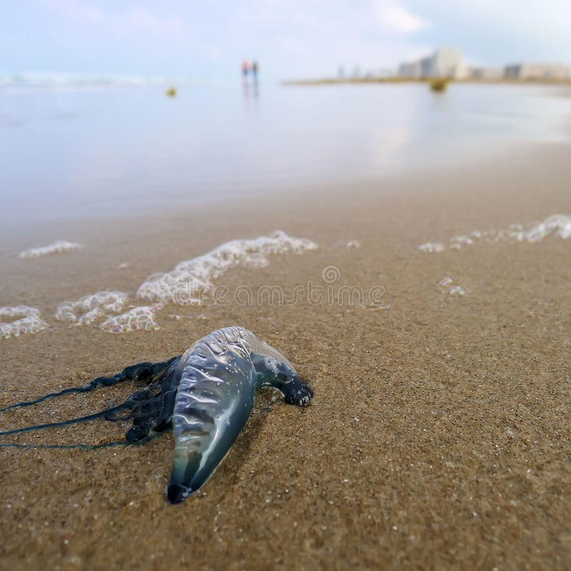 Download Jellyfish on beach stock photo. Image of island, venomous - 25002780