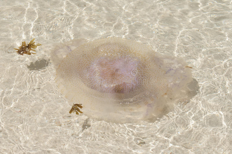 Download Jellyfish on the beach. stock photo. Image of closeup - 38952926