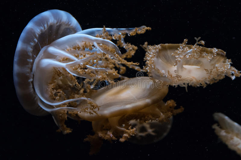 Jellyfish on black stock photo