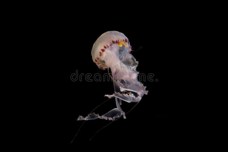 Jellyfish on black background - illuminated jellyfish, stock images