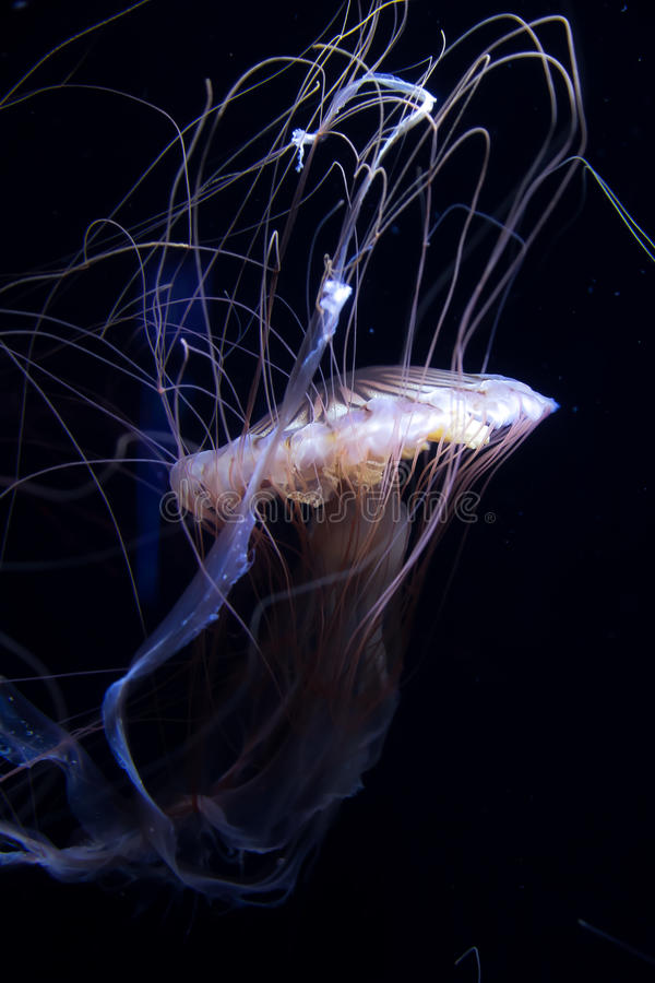 Jellyfish on black background. Jellyfish with long tentacle on dark background, dancing like royalty free stock photography