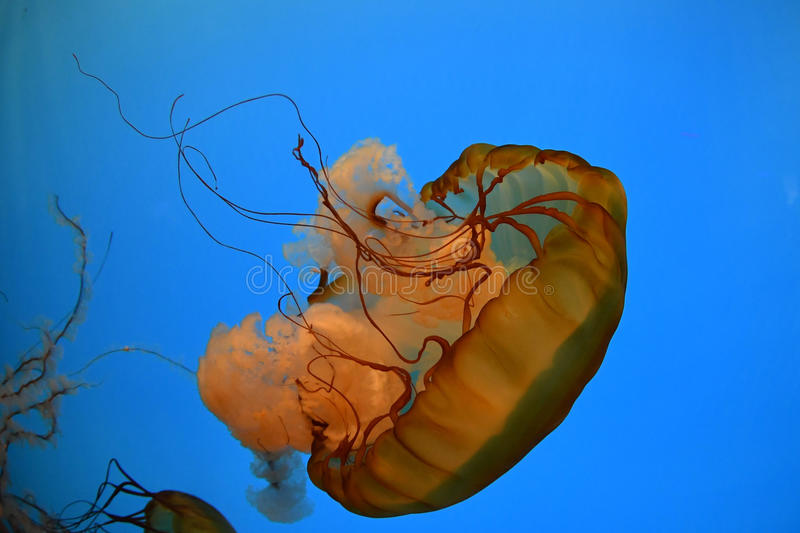 Jellyfish on bllue sea close up detail royalty free stock photos