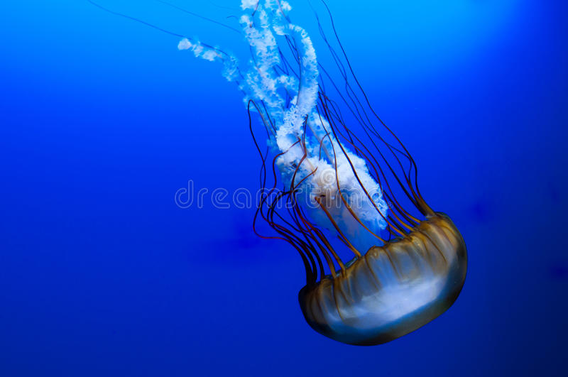 Download Jellyfish on blue stock image. Image of aquatic, dive - 23069929