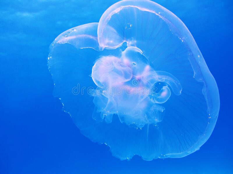 Jellyfish in blue waters stock images