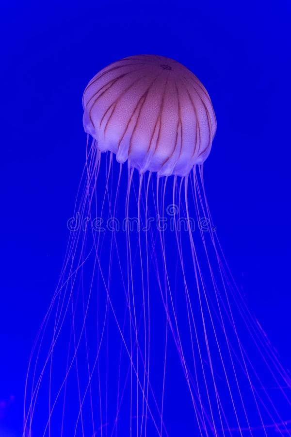 Jellyfish Chrysaora pacifica royalty free stock images