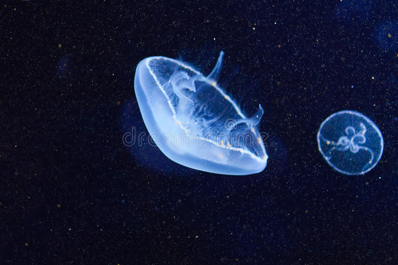Jellyfish close-up. Isolated on a black background stock image