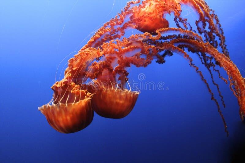 Jellyfish czarna denna pokrzywa zdjęcia royalty free