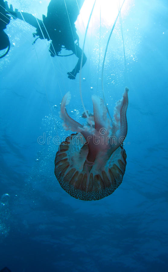 Download Jellyfish And Diver (U05) Stock Image - Image: 9761441