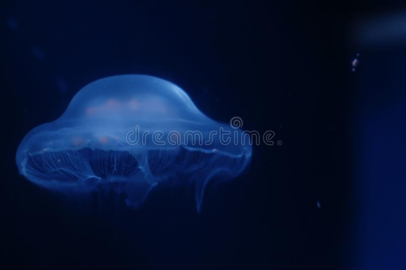Jellyfish floating peacefully royalty free stock photos