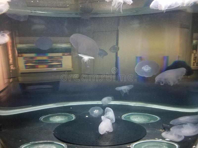 Jellyfish floating or swimming in aquarium with tentacles. Jellyfish floating or swimming in water in aquarium stock photos