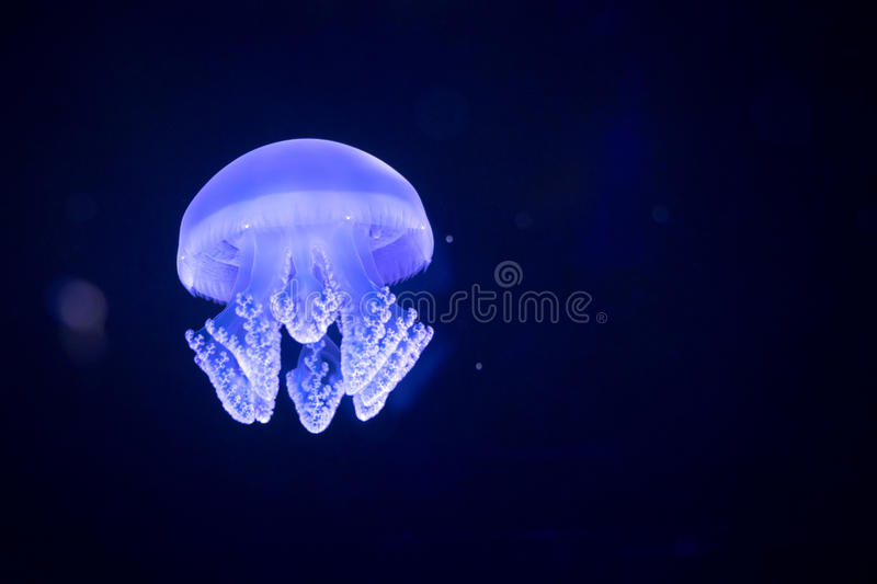 Jellyfish floating in water tank at aquarium.  royalty free stock images