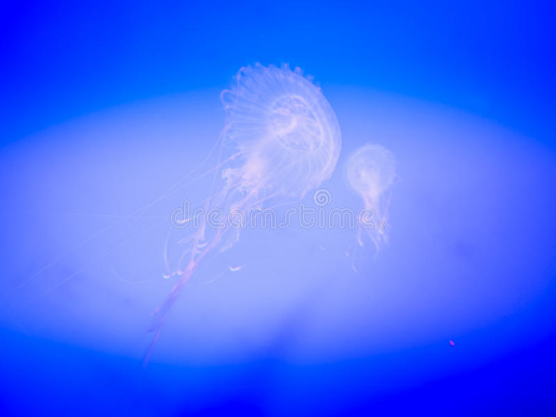Jellyfish in Hanwah Aqua Planet Jeju, located nearby Seopjikoji royalty free stock photography