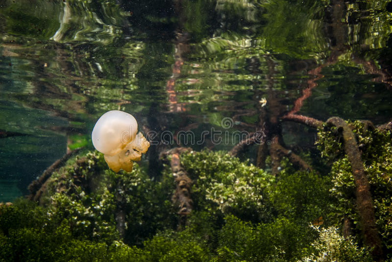 Jellyfish Kakaban swimming above mangrove in Derawan, Kalimantan, Indonesia underwater photo stock photos