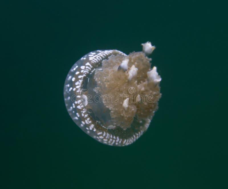 Jellyfish lake in Togian island stock image