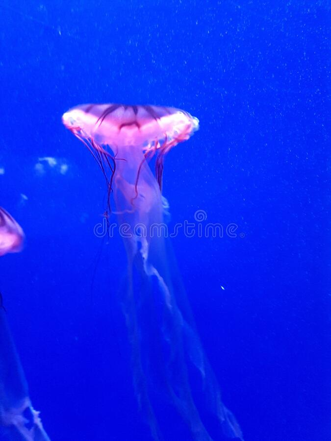 Lion mane jellyfish also known as jelly-like arctic lion mane marine animal stock images