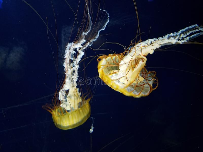 Jellyfish with long tentacles. This gorgeous specimen of jellyfish just float and looks so Serene and relaxing in the water but I know if I touch them I& x27;m stock photos