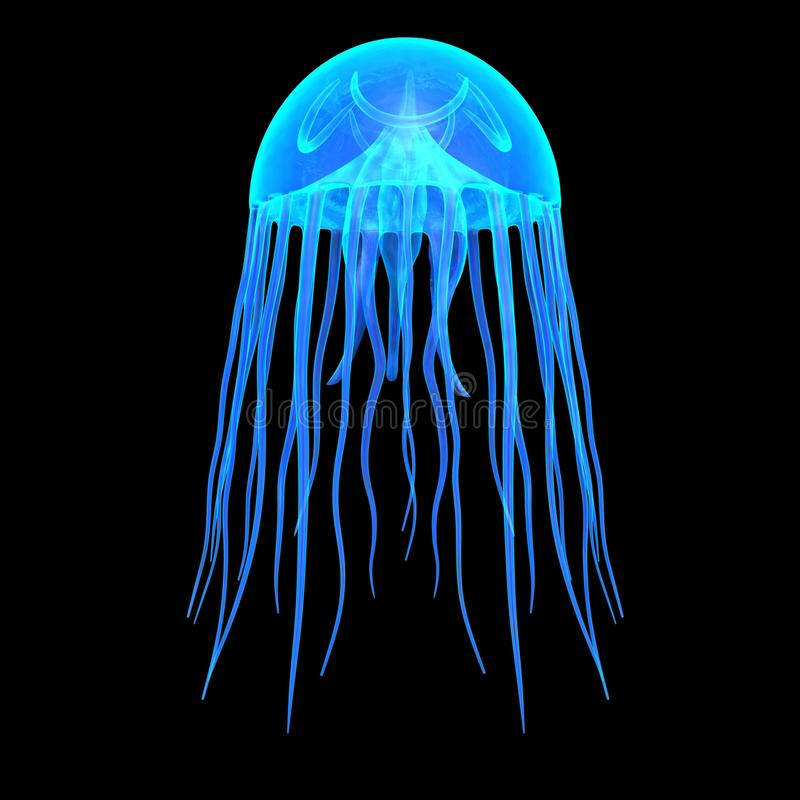 Jellyfish. Are the major non-polyp form of individuals of the phylum Cnidaria. They are typified as free-swimming marine animals consisting of a gelatinous royalty free illustration