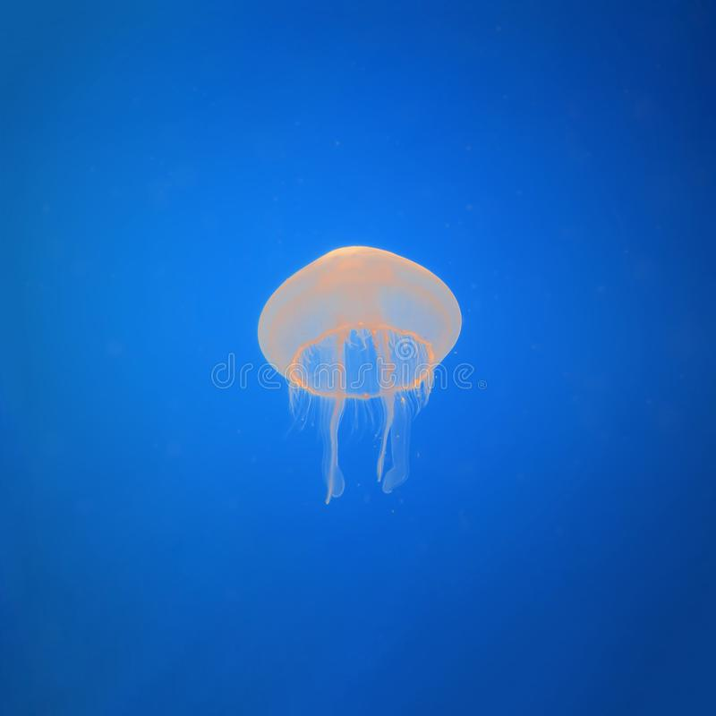 Jellyfish medusa in the neon light. Ocean wildlife. Underwater life stock image