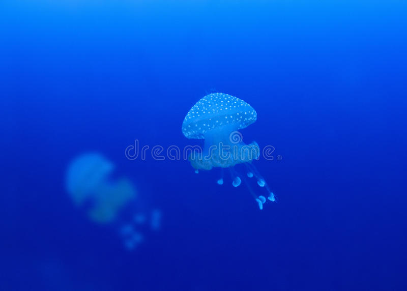 jellyfish phyllorhiza punctata fotografia stock