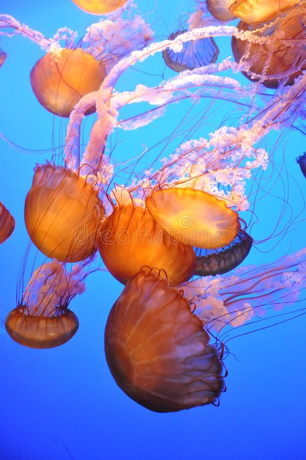 jellyfish pomarańcze zdjęcia stock