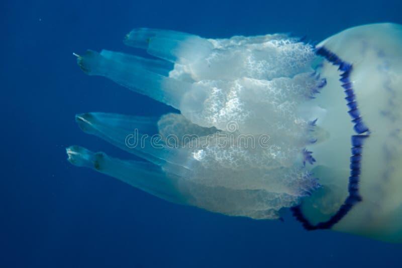 Jellyfish Przez światła słonecznego zdjęcie stock