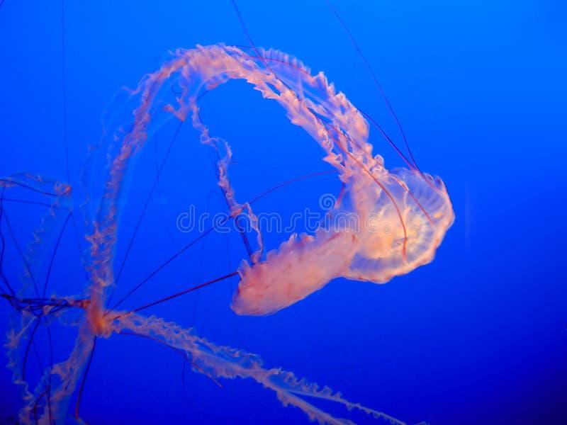 Download Jellyfish in sea stock photo. Image of underwater, undersea - 357348