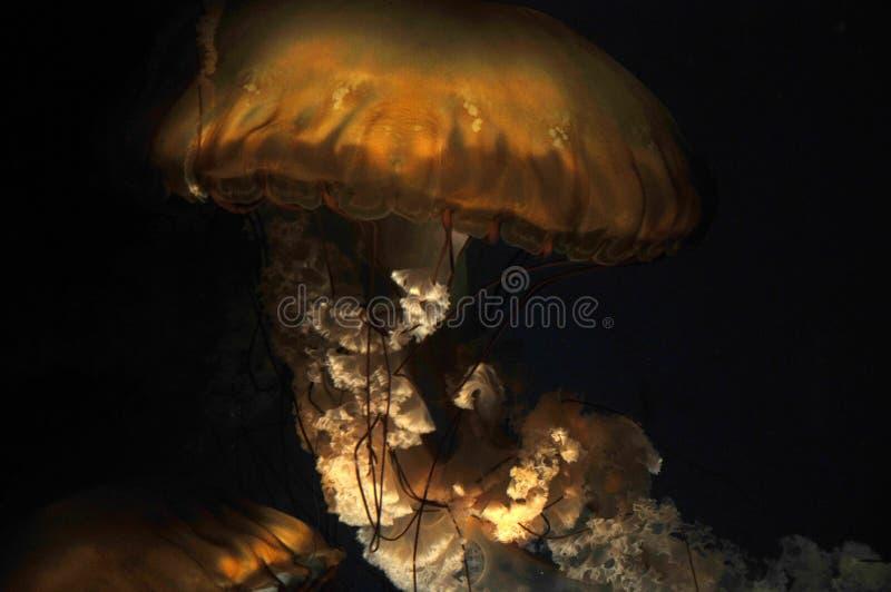 Jellyfish - sea nettle