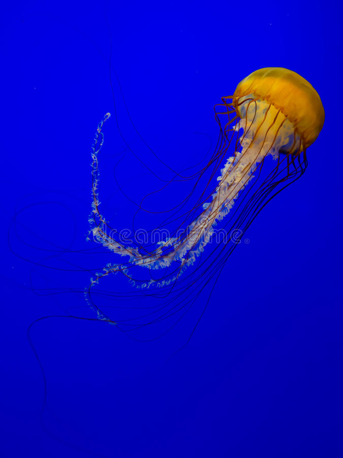 Jellyfish or sea nettle royalty free stock photos