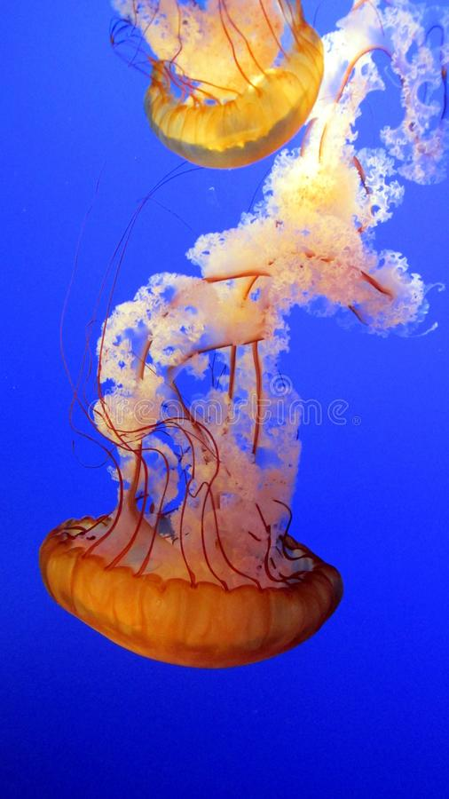 Jellyfish swimming in blue sea stock photography