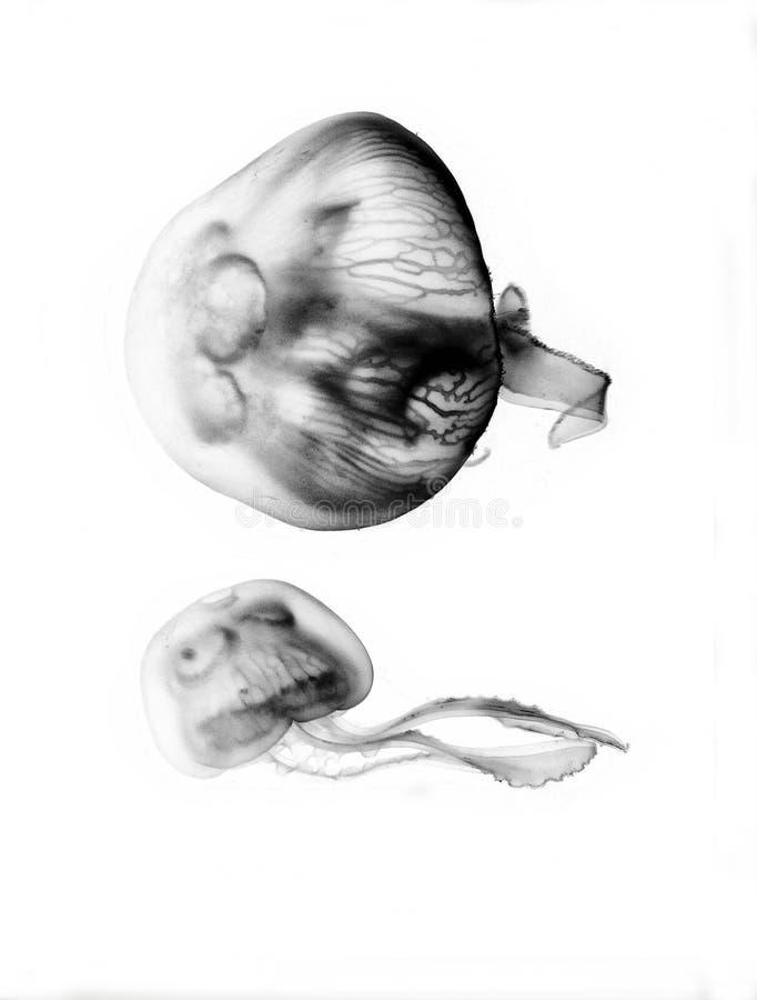 Jellyfish swimming on bright white background. Isolated Aurelia aurita jellyfish species swimming on white background