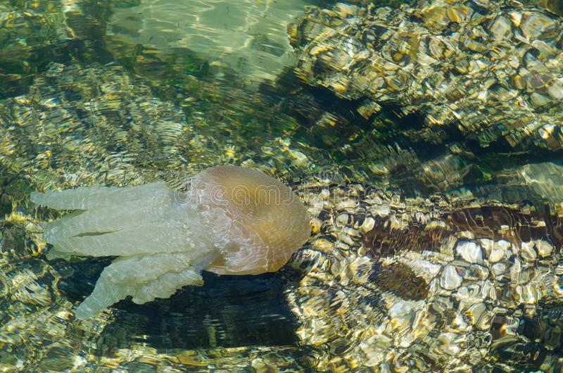 Jellyfish swimming in shallow ocean water near the rocky coast at Brighton le sands beach, Sydney, Australia. A Jellyfish swimming in shallow ocean water near royalty free stock images