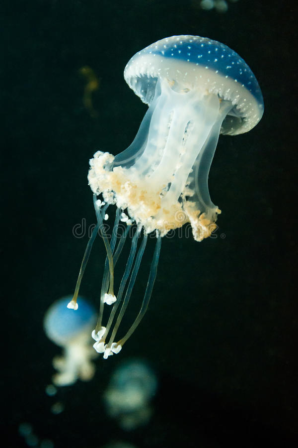 Jellyfish swimming royalty free stock photos