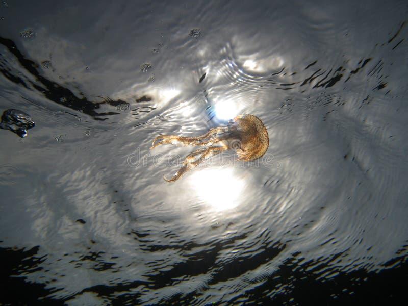 Jellyfish u07