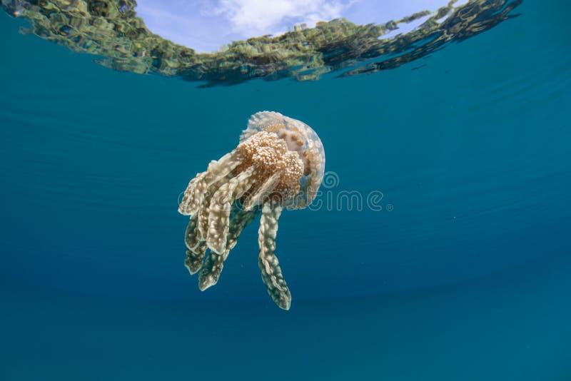Jellyfish w Tropikalnej lagunie obraz stock