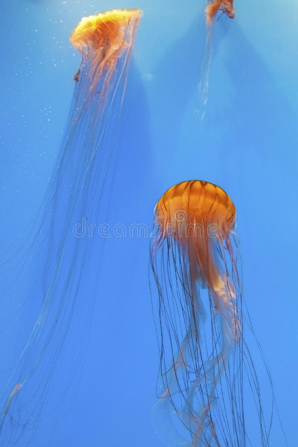 Brown and Gold Sea Nettles royalty free stock photos
