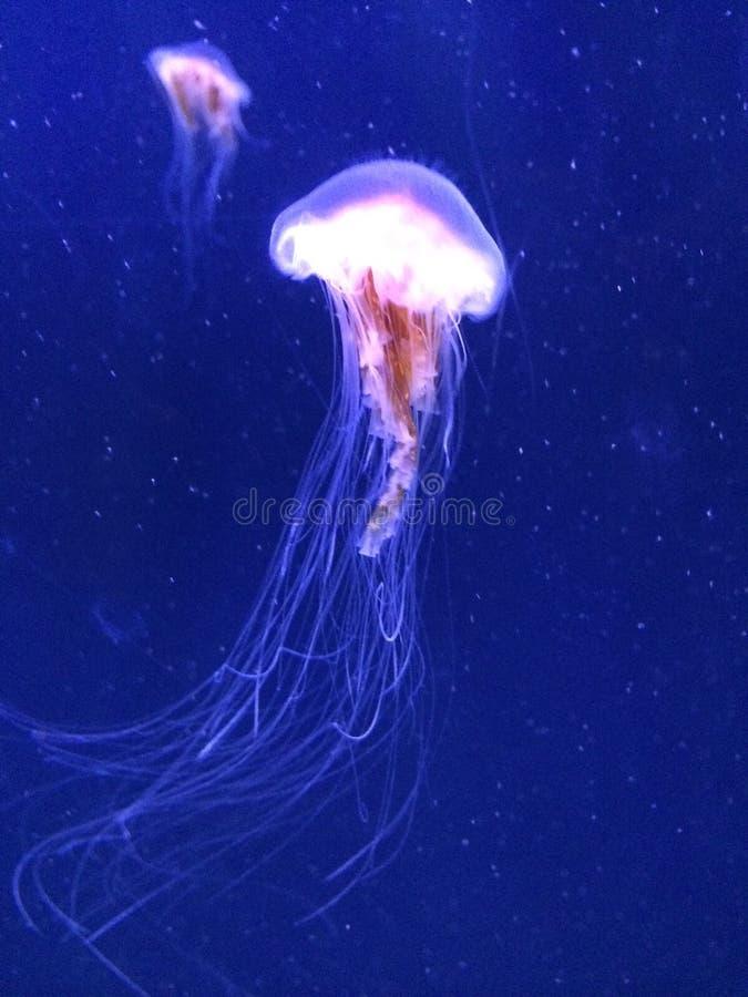 jellyfishes zdjęcia royalty free