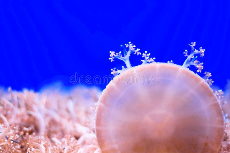 Jellyfishes closeup. Sea life stock image